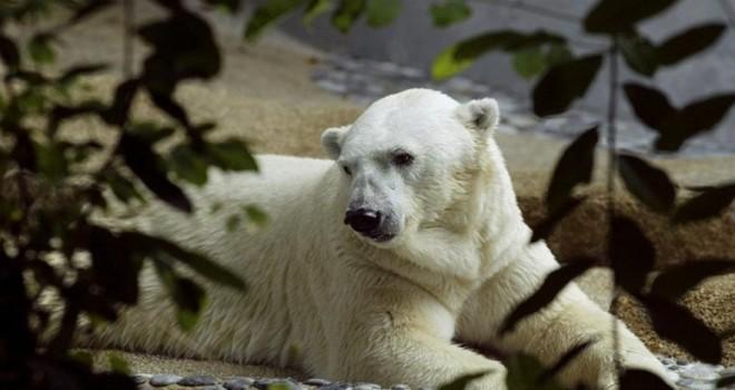 Tropik iklimde doğan ilk kutup ayısıydı… Bakıcılarının en zor kararı…