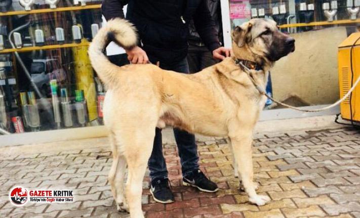 Kayıp Kangal köpeklerini bulana para ödülü verecek
