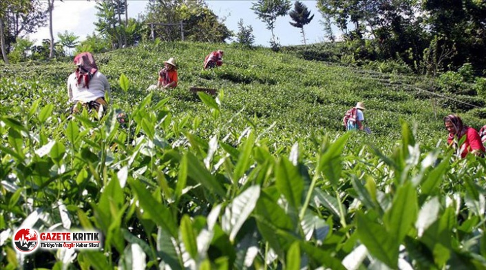 Rize'ye gelen çay üreticisi ailelerden birer kişiye Covid-19 testi yapılacak
