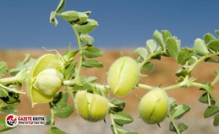 Tohumunu 5 TL'den alan çiftçi ürünü 2 liraya satamıyor!