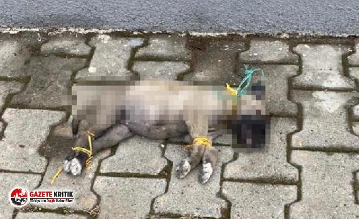 Bir canilik daha:Yavru köpek ayaklarını ve boynu bağlı ölü bulundu!
