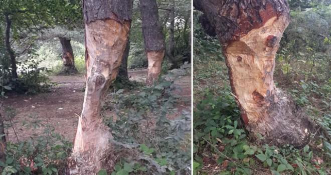 Çıra için, ağaçların gövdesini oydular