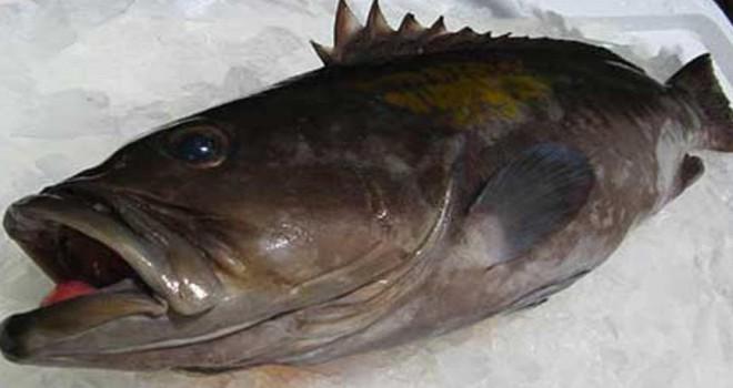 Akdeniz'in incisine av yasağı kalktı