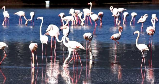 Muğla'da flamingolar görsel şölene imza attı