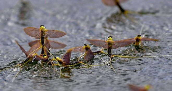 Mayıs sineği görsel şölen yarattı