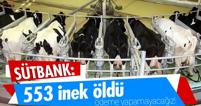 Sütbank: 553 inek öldü, ödeme yapamayacağız