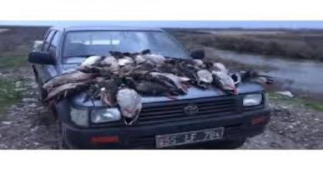 Kaçak avcılar, Kızılırmak Deltası'nda yaban ördeklerini telef etmiş