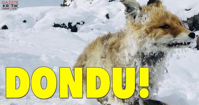 Çaldıran'da soğuktan donmuş bir tilki bulundu