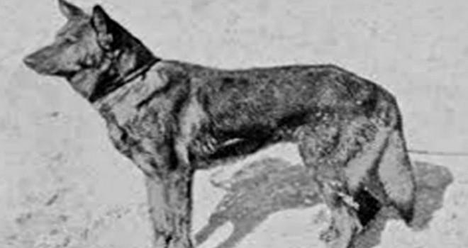 İlk polis köpeği 'Dolf'ün fotoğrafı paylaşıldı