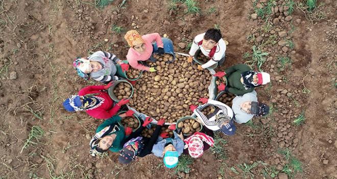 Ahlat'ta ilk patatesler söküldü