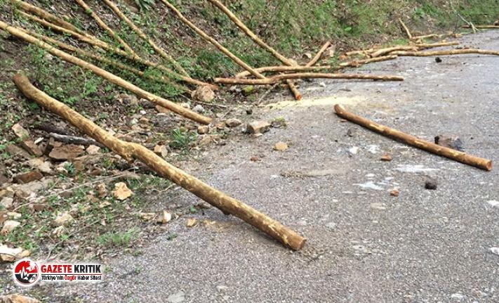 İki kardeş, koruma altındaki 40 ağacı keserken yakalandı