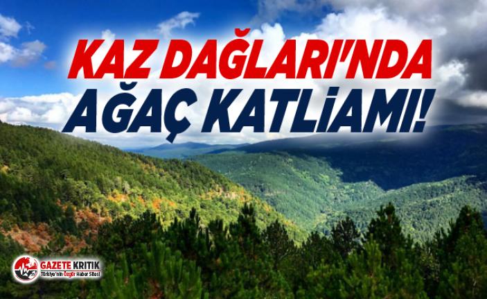 Kaz Dağları'nda ağaç katliamı!