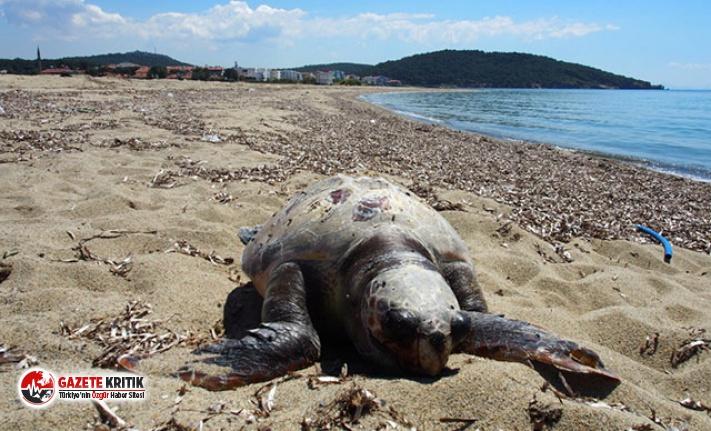 Ayvalık sahilinde ölü caretta caretta bulundu
