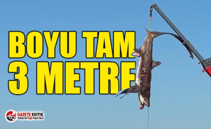 Fethiye'de 3 metrelik köpek balığı yakalandı