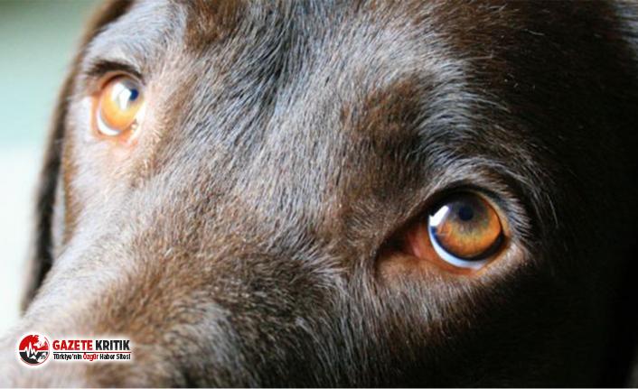 Köpeklerin 'üzgün' bakışlarına yol açan yüz kasları, insanların ilgisini çekmek için evrimleşmiş