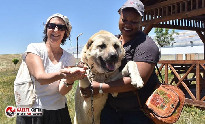 Yabancı turizm acentası yetkililerinin 'Kangal' sevgisi