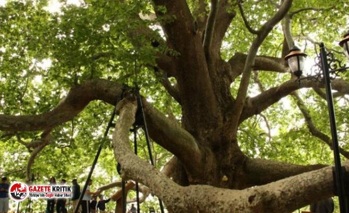 9 bin 369 'anıt ağaç' tescillendi