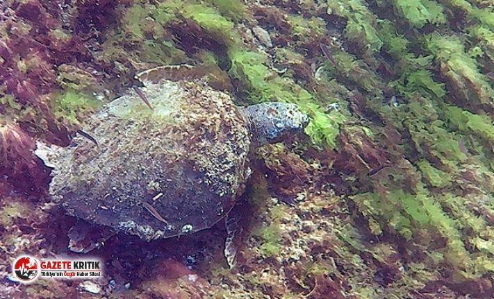 Çanakkale Boğazı'nda deniz kaplumbağası...