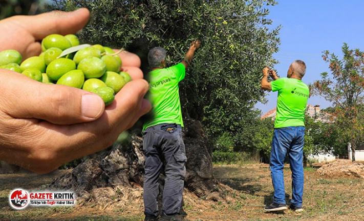 Asırlık ağaçların zeytini açık artırmayla...