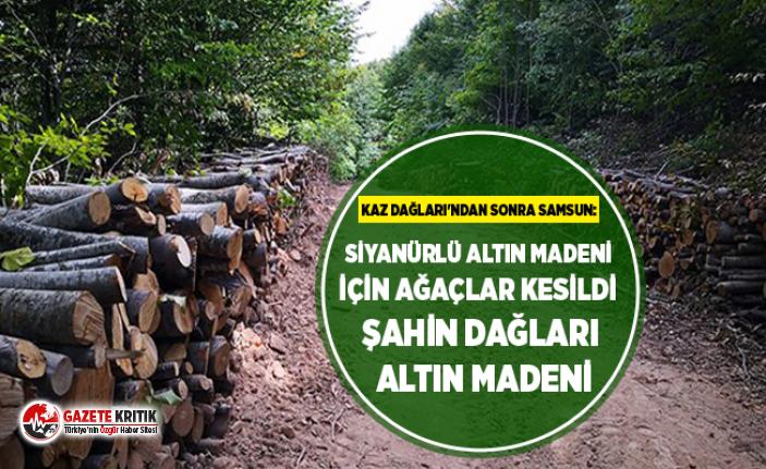 Kaz Dağları'ndan sonra Samsun: Siyanürlü altın madeni için ağaçlar kesildi Şahin dağları altın madeni