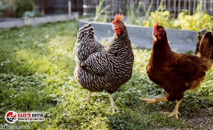 Uzmanlar uyardı: Tavuklarınızı öpmeyin, lütfen öpmeyin!