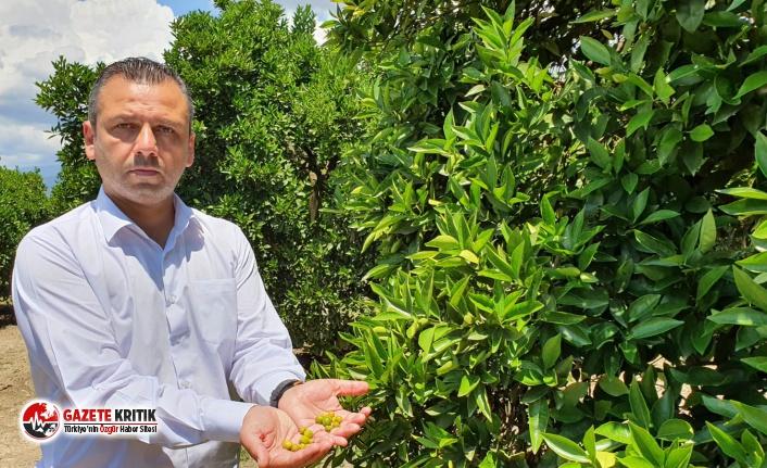 CHP'li Erbay: Narenciye üreticisi sezonu kapattı