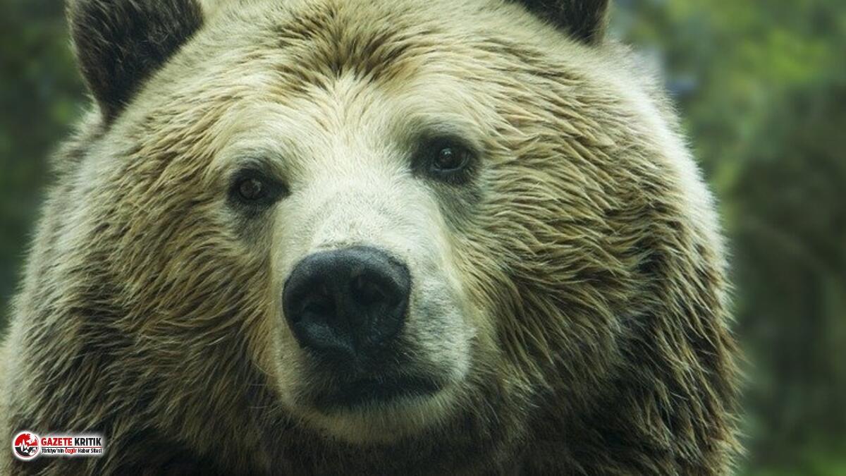 Ava giden baba-oğula saldıran ayıyı öldürme kararı alındı!
