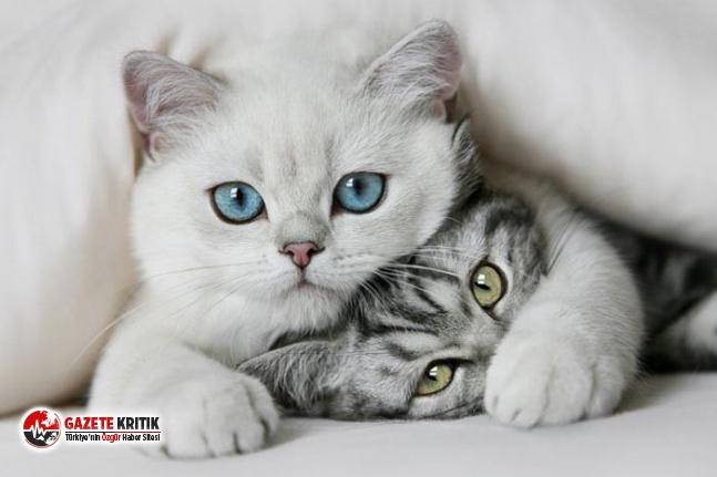 Koronavirüs sanılandan daha fazla kediye bulaşmış...