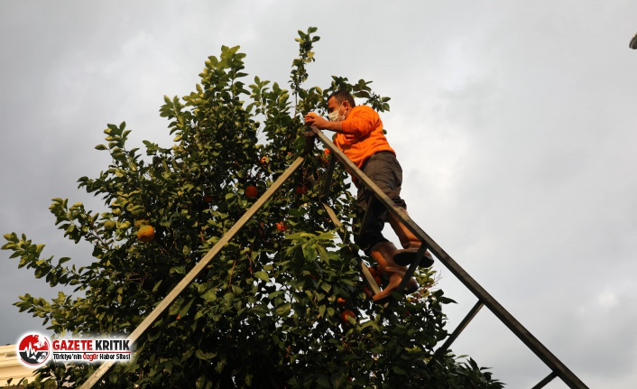 Marmaris'te turunç dağıtımı