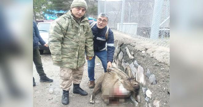 Tüfekle vurulan koruma altındaki keçi için seferber...