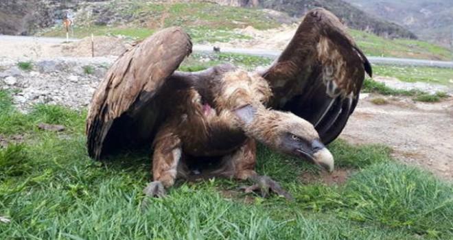 Çukurca'da yaralı halde bulunan kızıl akbaba tedaviye...
