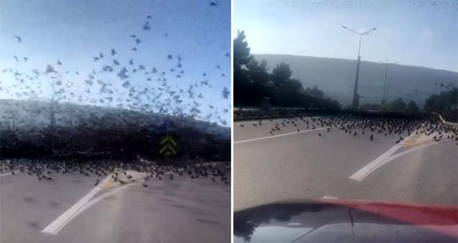 Sığırcık sürüsü trafiği kilitledi!