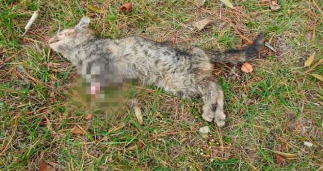 Çorum'da patileri kesilmiş yavru kedi, ölü bulundu