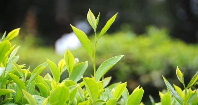 Türk beyaz çayından Japonya'da kanser tedavisinde...