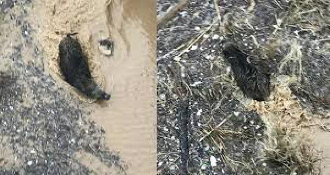Yolunu şaşıran yaban domuzu Konyaaltı sahilinde...